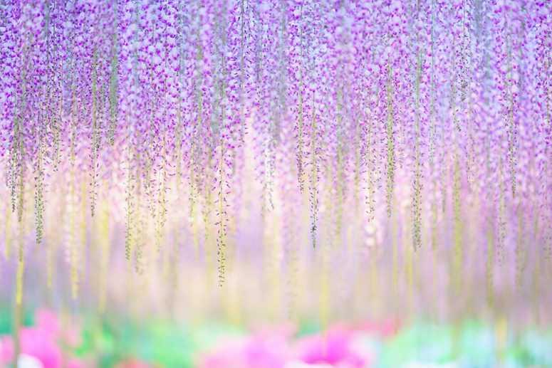 Водопад глициний в Японии – Вы только посмотрите какая неземная красота!