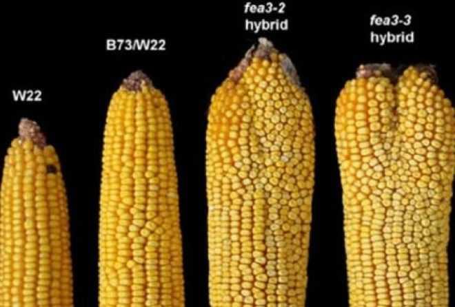 Почему необходимо отказаться от кукурузы