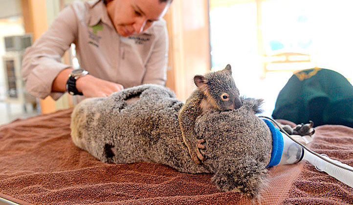 Маленький коала обнимал маму во время операции