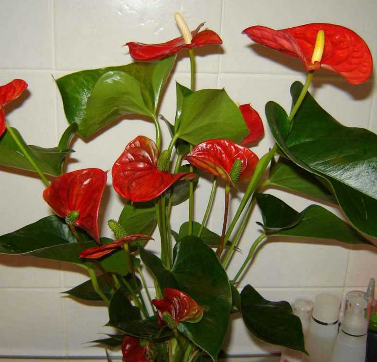 Домашние цветы, приносящие счастье и благополучие