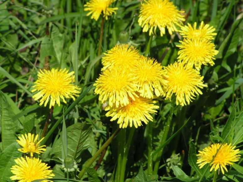 1 Лист этого растения может спасти вашу жизнь! Оно растет почти в каждом саду, но лишь немногие знают, как им пользоваться