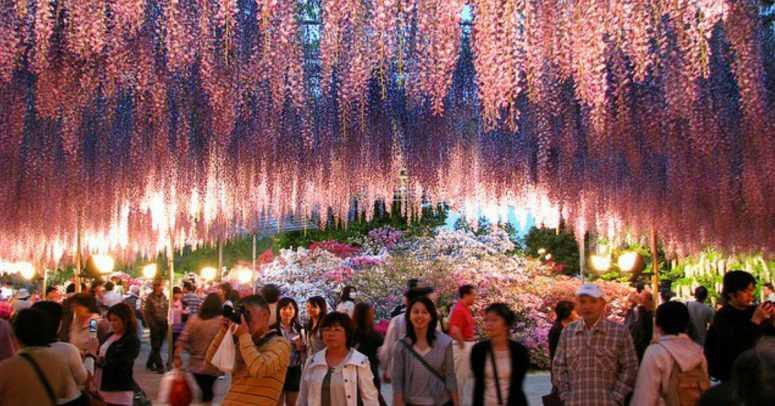 Розовый водопад Глициний в Японии!