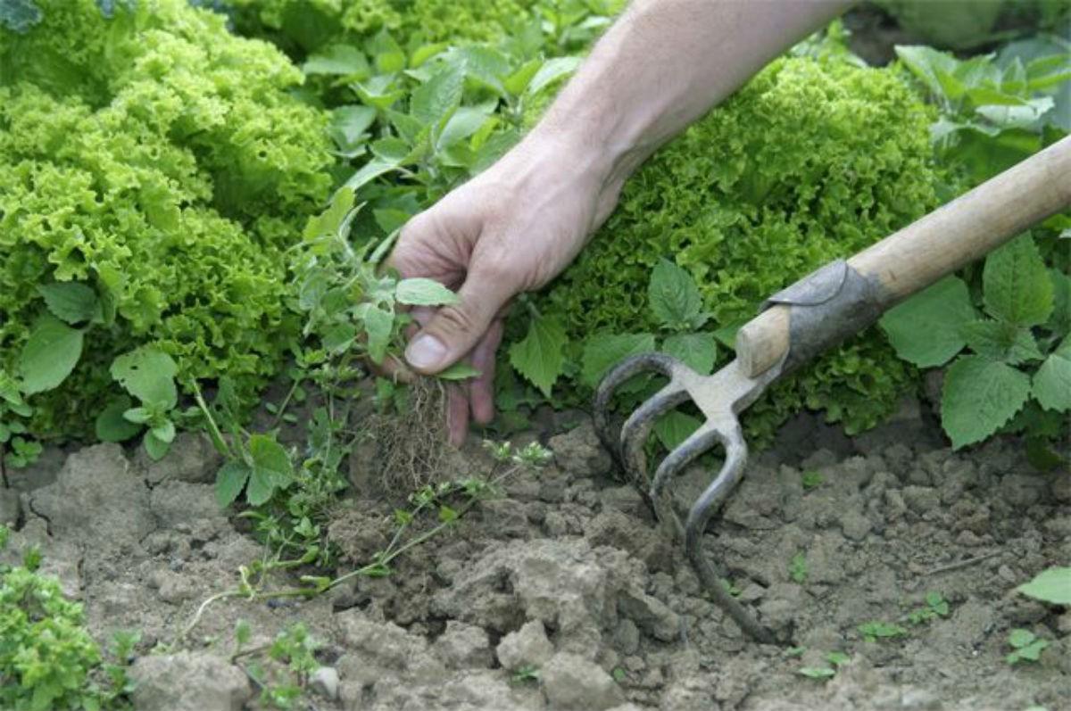 В прошлом году я в первые использовала уксус в саду. Теперь все соседи используют уксус в саду.