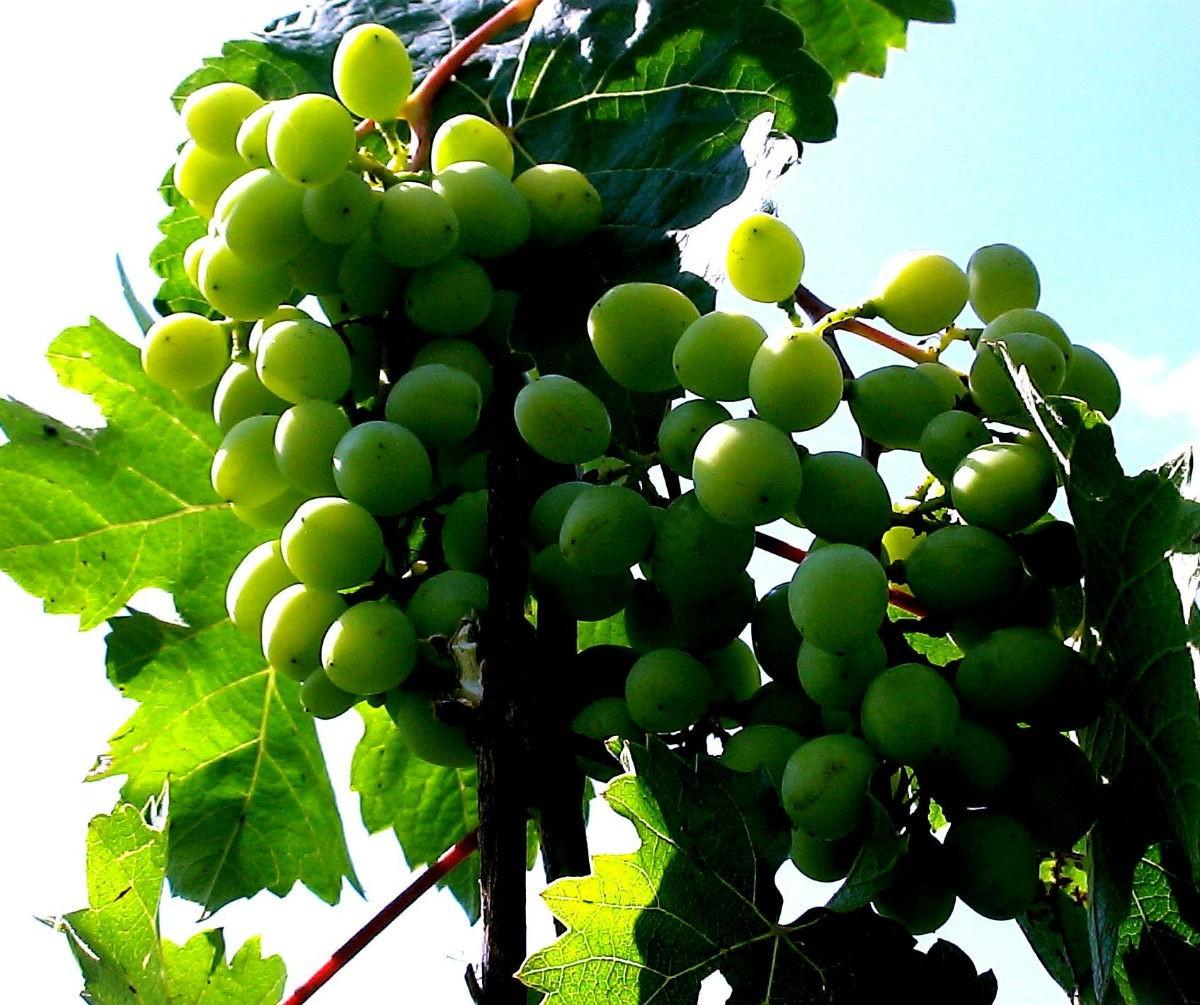 Эволюция: Опять о ЗВ (зеленом винограде)